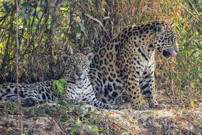South America, Brasilia, Pantanal, female and male jaguars in nature — Stock Photo