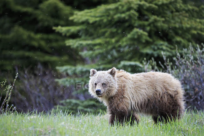 Portrait of young Grizzly bear standing at Jasper and Banff National Park, Alberta, Canada — Stock Photo