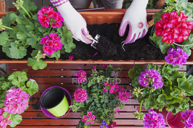Gardening, different spring and summer flowers, flower box and gardening tools, female hands in gloves potting — Stock Photo