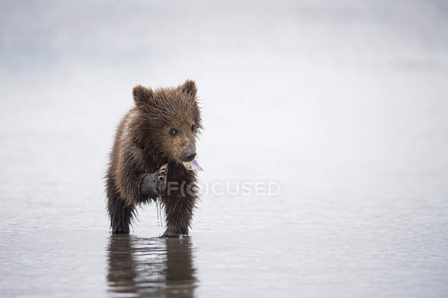 Brown bear cub (Ursus arctos) eating a mussel standing in river — Stock Photo