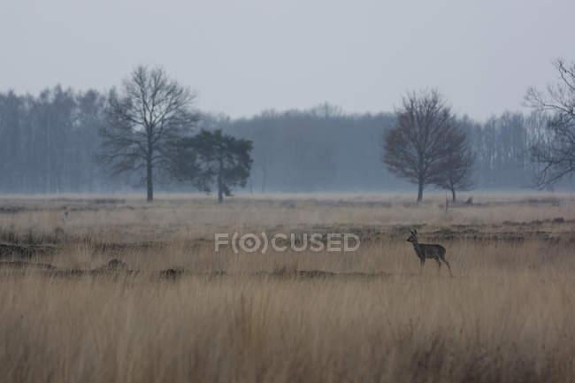Пейзаж с голые деревья и косуля — стоковое фото