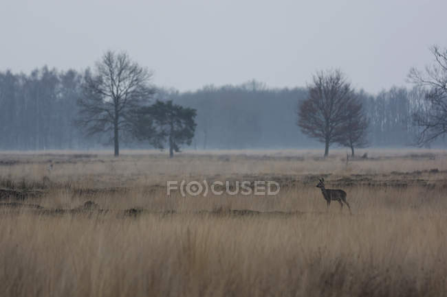 Landscape with bare trees and roe deer — Stock Photo