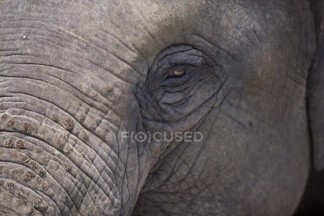 Closeup of elephant muzzle at daytime, Bangkok, Thailand — Stock Photo