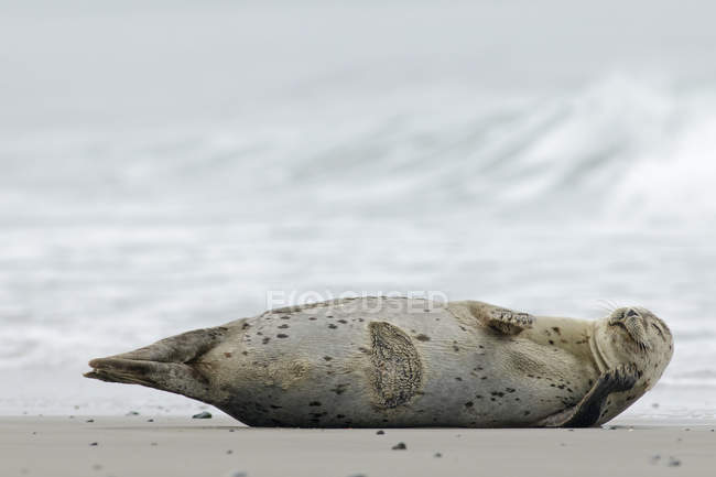 Grey seal lying at beach at daytime, Helgoland, Schleswig-Holstein, Germany — Stock Photo
