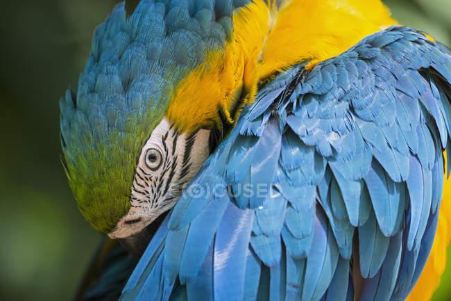 Закри портрет синьо-жовтий ара, Бразилія — стокове фото