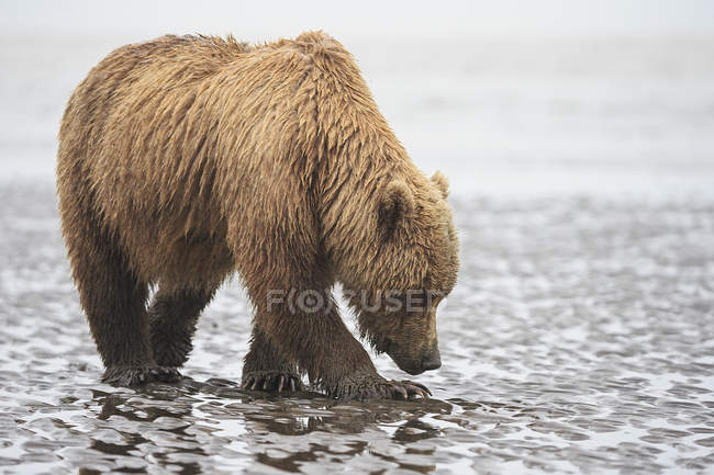 Brown bear (Ursus arctos) foraging mussels at river — Stock Photo