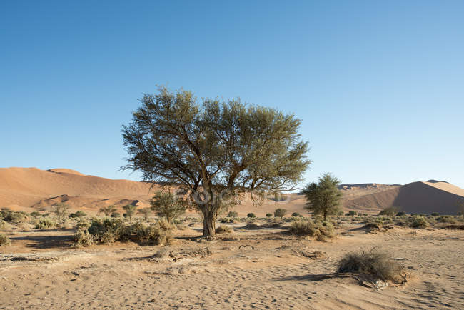 Africa, Namibia, Sossusvlei, Tree and bushes at sand dune — Stock Photo