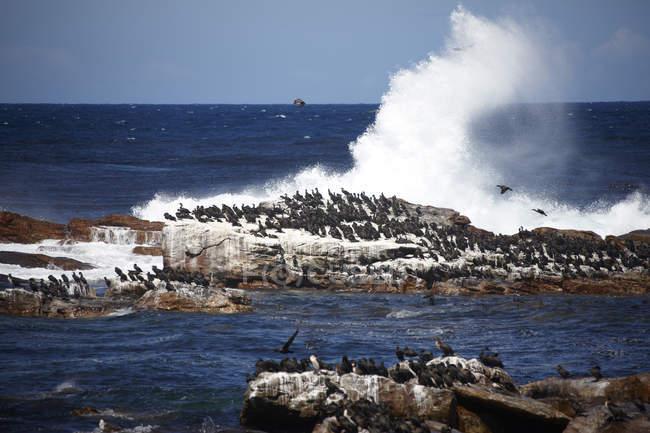 Cormorani di Cape South Africa, Cape di buona speranza, che si siede sulla roccia — Foto stock