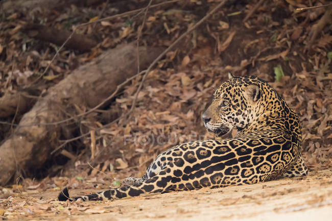 América del sur, Brasilia, Mato Grosso do Sul, Pantanal, Jaguar, Panthera onca en suelo - foto de stock