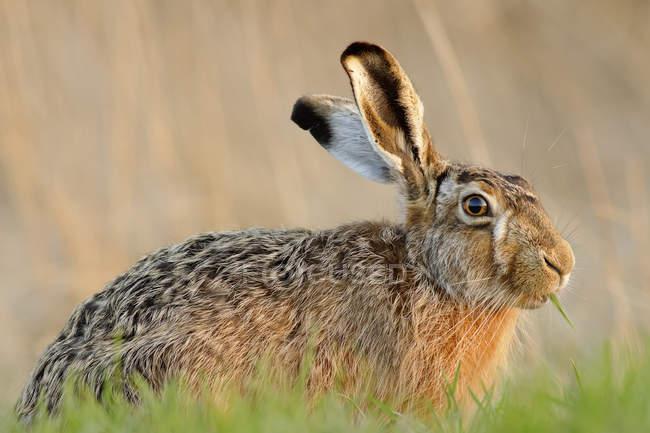 Germania, Schleswig-Holstein, lepri, Leporidae — Foto stock