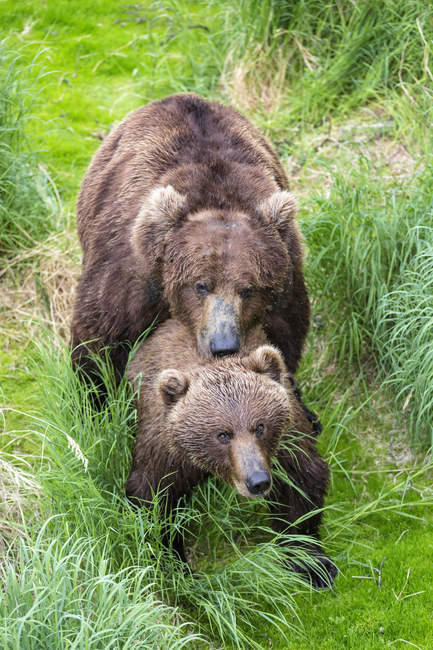 Brown bears mating at Katmai National Park, Alaska, USA — Stock Photo