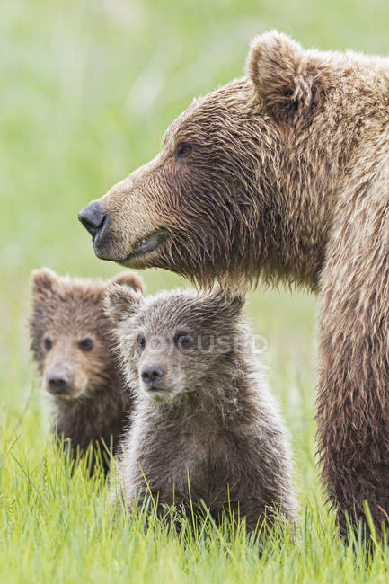 Brown bear with cubs standing in Lake Clark National Park and Preserve, Alaska USA — Stock Photo