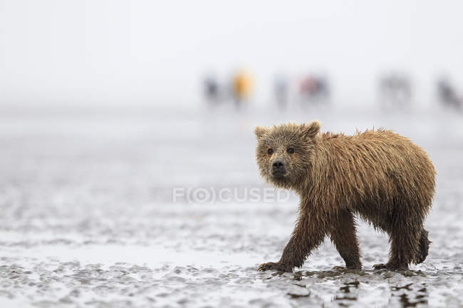 USA, Alaska, Lake Clark National Park and Preserve, Brown bear cub (Ursus arctos) walking on the beach — Stock Photo