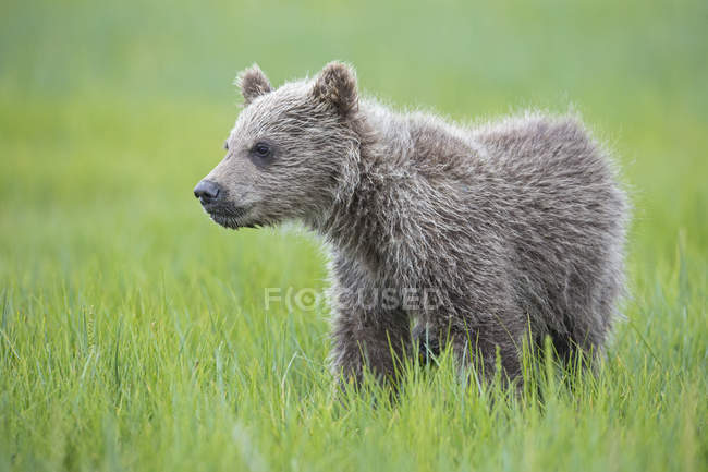 USA, Alaska, Lake Clark National Park and Preserve, Brown bear cub (Ursus arctos) standing on meadow — Stock Photo
