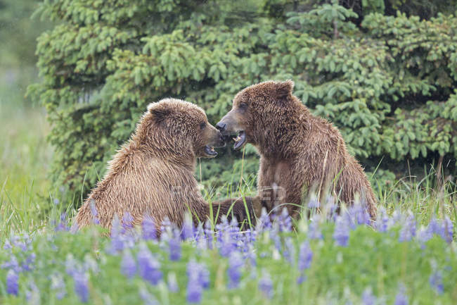 Two brown bears playing at daytime, Lake Clark National Park and Preserve, Alaska, USA — Stock Photo