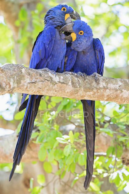 Brasile, Mato Grosso, Mato Grosso do Sul, Pantanal, hyazinth due macaws (Anodorhynchus hyacinthinus) pappagalli seduto sul ramo — Foto stock
