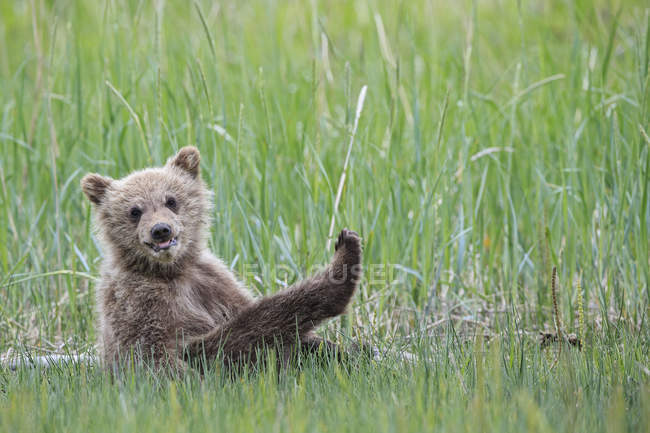 Brown bear cub sitting on meadow at Lake Clark National Park and Preserve, Alaska, USA — Stock Photo