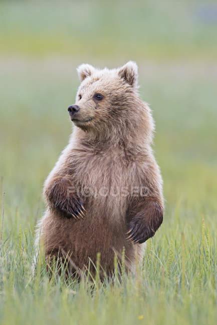 Filhote de urso pardo (Ursus arctos) permanente no prado na grama verde — Fotografia de Stock