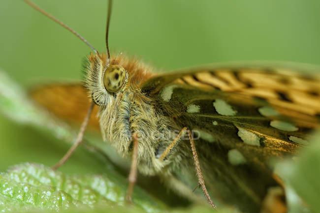 Темно зеленый Авриния, Перламутровка aglaja, Бабочка, сидит на лист — стоковое фото
