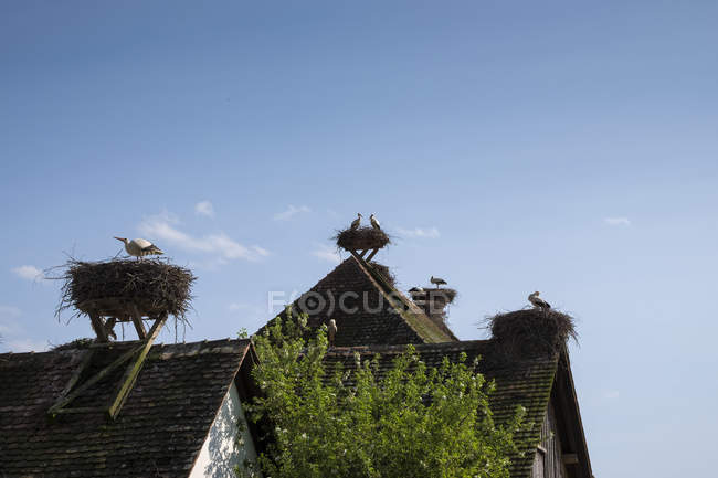 Colony of white storks breeding on rooftops — Stock Photo