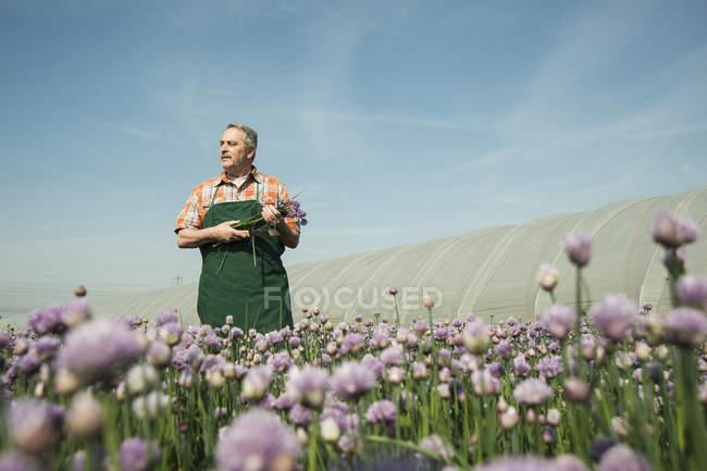 Agricultor colheita cebolinha permanente no campo ensolarado — Fotografia de Stock