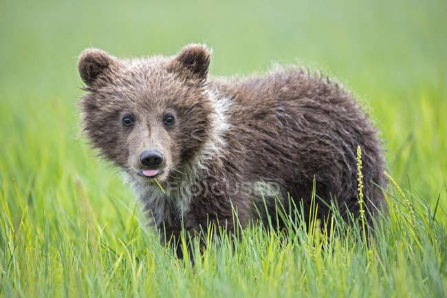 Filhote de urso pardo (Ursus arctos) permanente em Prado verde com língua de fora — Fotografia de Stock