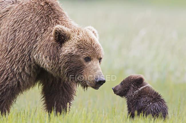 Femmina di orso bruno con il cub in Lake Clark National Park e Preserve, Alaska, Stati Uniti — Foto stock