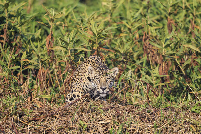 South America, Brasilia, Mato Grosso do Sul, Pantanal, alerted Jaguar looking at camera in plants — Stock Photo