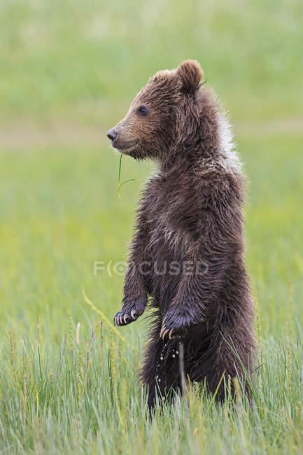Filhote de urso pardo (Ursus arctos) permanente no Prado, olhando de lado — Fotografia de Stock