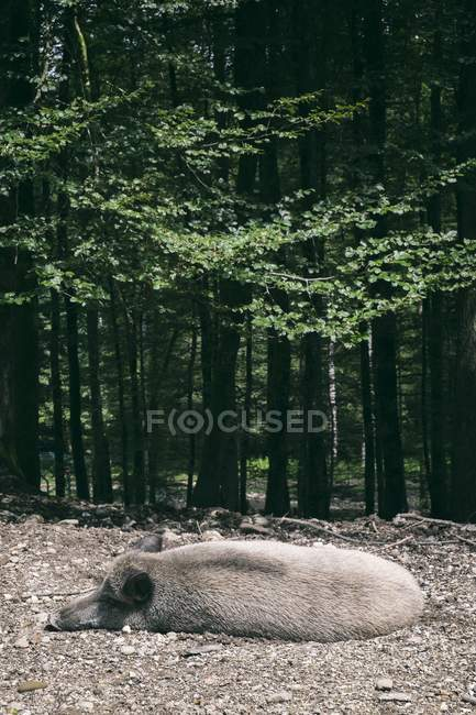 Wild boar, resting at forest edge — Stock Photo
