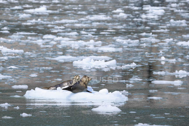 USA, Alaska, Seward, Resurrection Bay, two harbour seals (Phoca vitulina) lying on an ice floe — Stock Photo