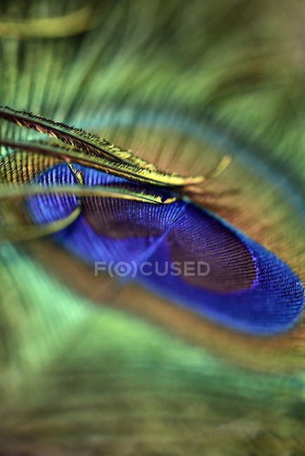 Detail of peacock's feather — Stock Photo