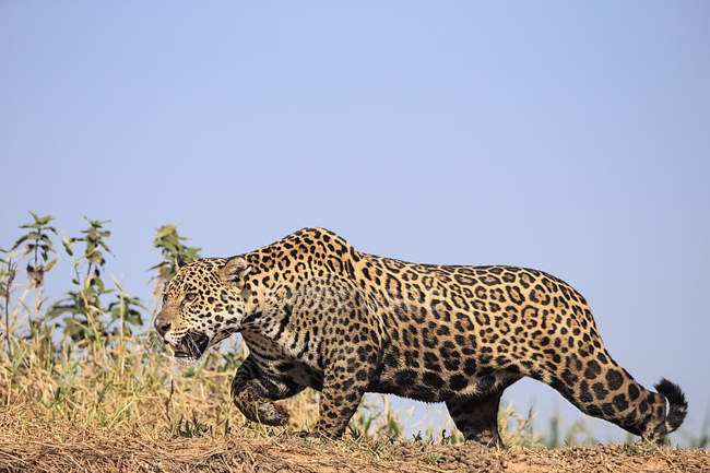 South America, Brasilia, Mato Grosso do Sul, Pantanal, Cuiaba River, Jaguar, Panthera onca - foto de stock