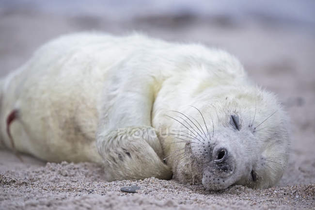 Ritratto di cucciolo di foca grigia sdraiato sulla spiaggia di giorno, Isola di Duene, Helgoland, Schleswig-Holstein, Germania — Foto stock