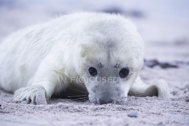 Cute grey seal pup lying on beach at daytime, Duene Island, Helgoland, Schleswig-Holstein, Germany — Stock Photo
