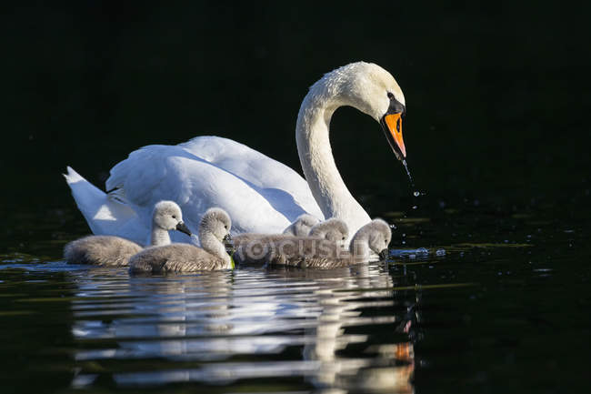 Europe, Germany, Bavaria, Swan with chicks swimming in water — Stock Photo