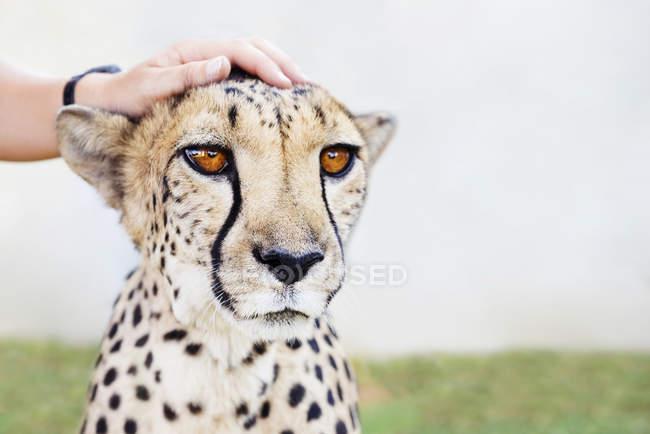 Namibia, Kamanjab, la mano dell'uomo che accarezza un ghepardo domato — Foto stock