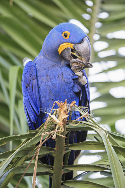 Brasil, Mato Grosso, Mato Grosso do Sul, Pantanal, guacamayo jacinto (Anodorhynchus hyacinthinus) loro sentado en semillas que comen palmeras - foto de stock