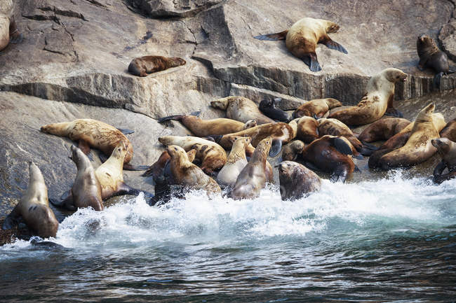 USA, Alaska, Seward, Resurrection Bay, group of Steller sea lions (Eumetopias jubatus) lying on a rock — Stock Photo