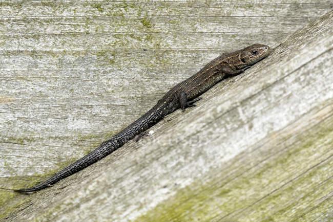 Lucertola comune, che si siede sul legno, Zootoca vivipara — Foto stock