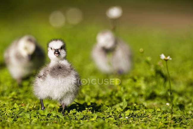 Nahaufnahme der Nonnengans-Küken auf dem grünen Rasen tagsüber — Stockfoto