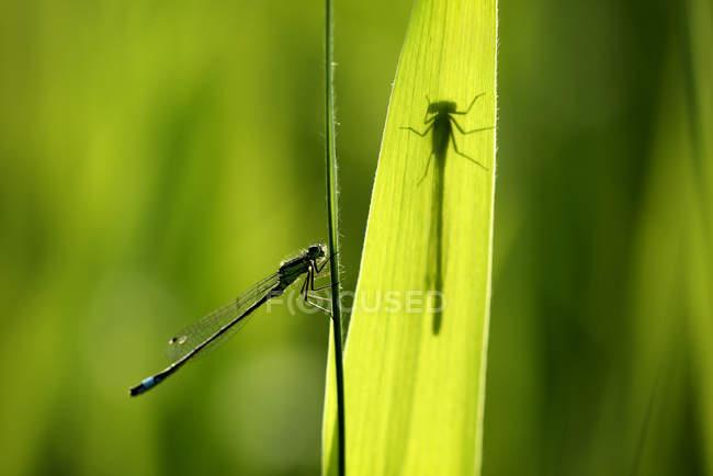 Синехвостая Равнокрылые стрекозы, Ischnura elegans и стрекоза тень на зеленый лист — стоковое фото