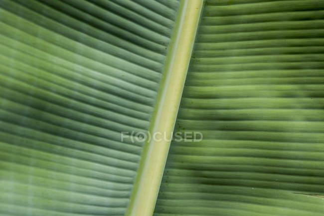 Espanha, Ilhas Canárias, Folha de banana — Fotografia de Stock