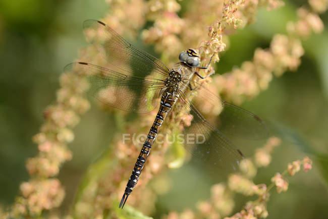 Hawker migrante, Aeshna mixta libélula na planta — Fotografia de Stock