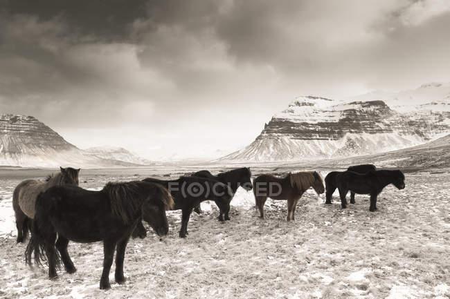 Cavalos islandeses Islândia, Snaefells, a paisagem natural sobre fundo — Fotografia de Stock