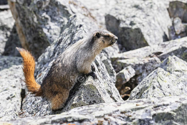 Kanada, British Columbia, Yoho Nationalpark, Hoary Murmeltier (Marmota caligata) — Stockfoto