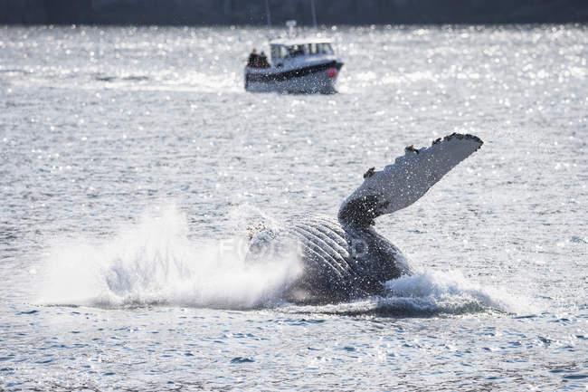 Usa, alaska, seward, resurrection bay, Brustflosse des springenden Buckelwals (megaptera novaeangliae) vor dem Boot — Stockfoto