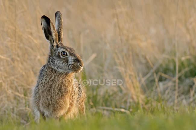 Германии, в земле Шлезвиг-Гольштейн, полевой заяц, сидя в траве — стоковое фото