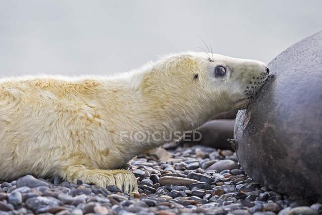 Foca grigia che allatta il cucciolo sulla spiaggia di giorno, Duene Island, Helgoland, Germania — Foto stock