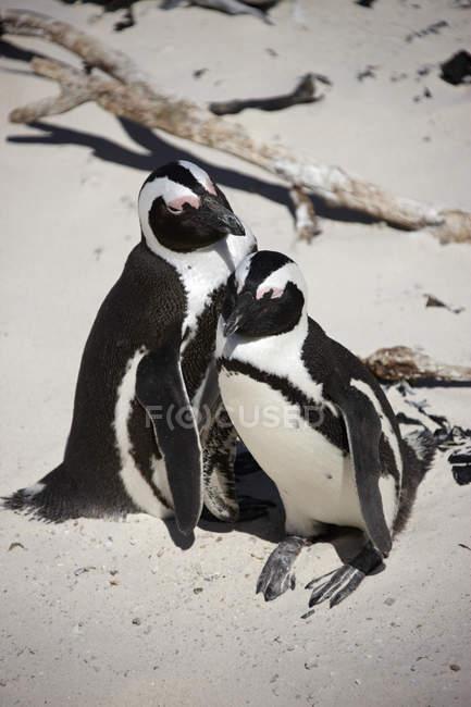 Südafrika, Simonstown, Black-footed Pinguine zusammensitzen auf sand — Stockfoto